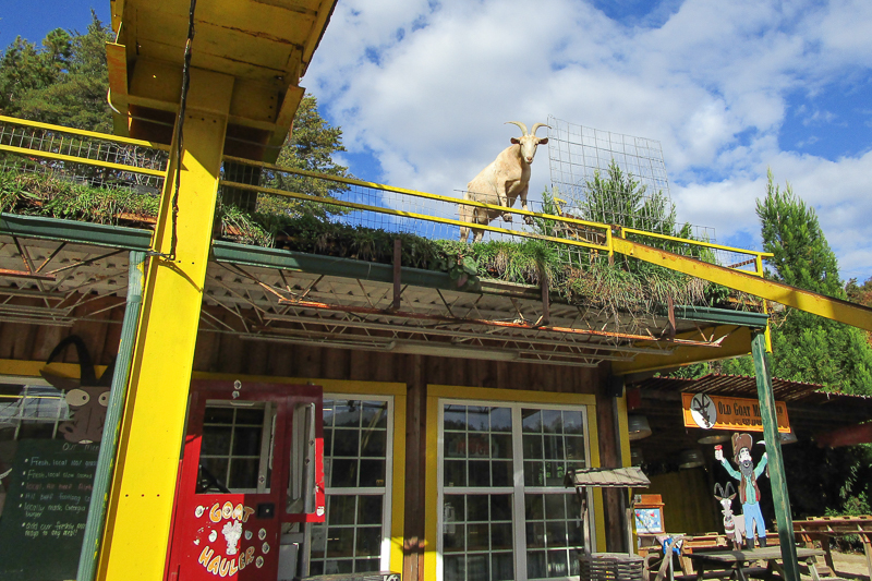 "A famous place called ""Goats on the Roof"""